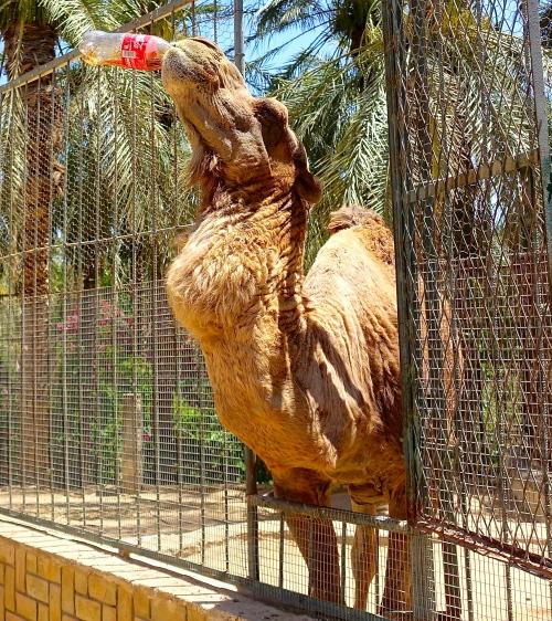 Camel drinking coke at a Tunisian Zoo