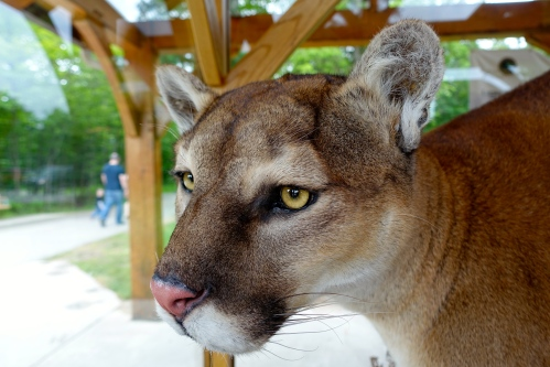 Cougar at Tahquamenon Falls