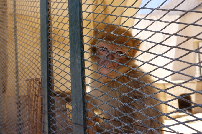 Monkey at a Tunisian Zoo