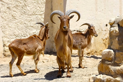 Mountain Goats at a Tunisian Zoo