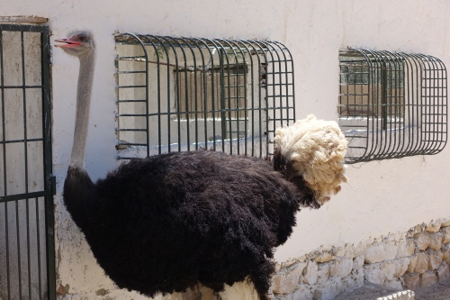 Ostrich Tunisian Zoo