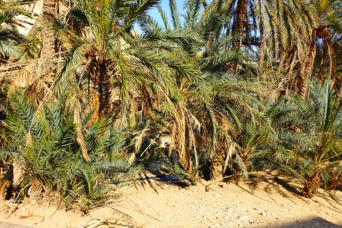 Palms planted by stream in Tunisia
