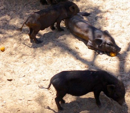Pigs Tunisian Zoo