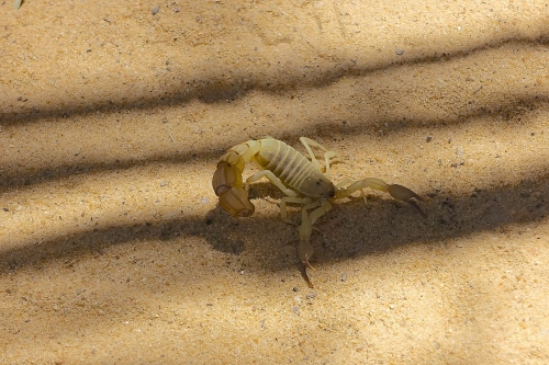 Scorpion at a Tunisian Zoo