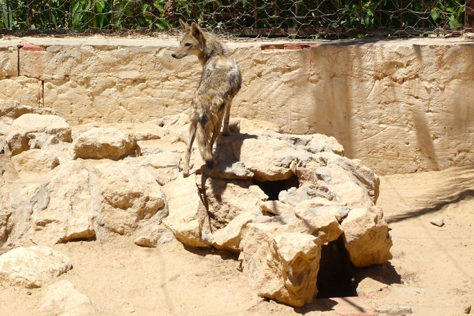 Tunisian Zoo Coyote