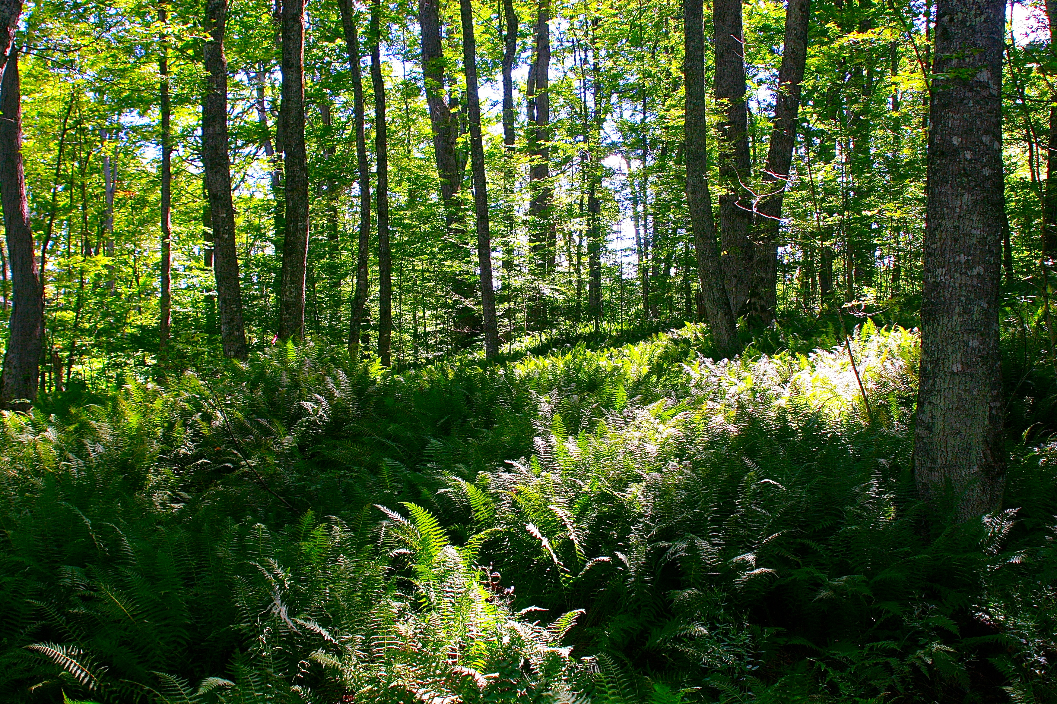 Woods around Upper Falls Tahquamenon River
