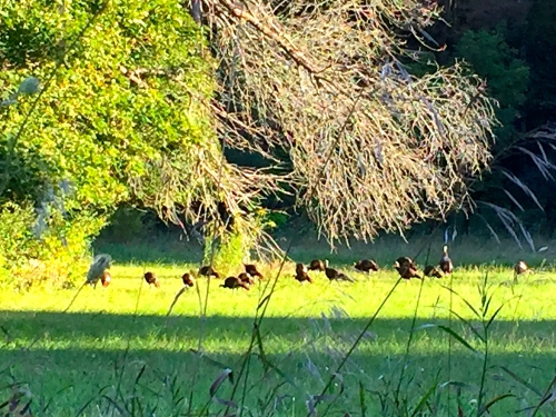 Autumn Flock of Turkeys