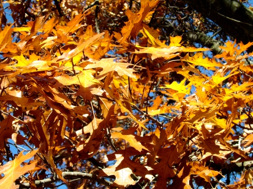 Autumn Golden Oak leaves copy