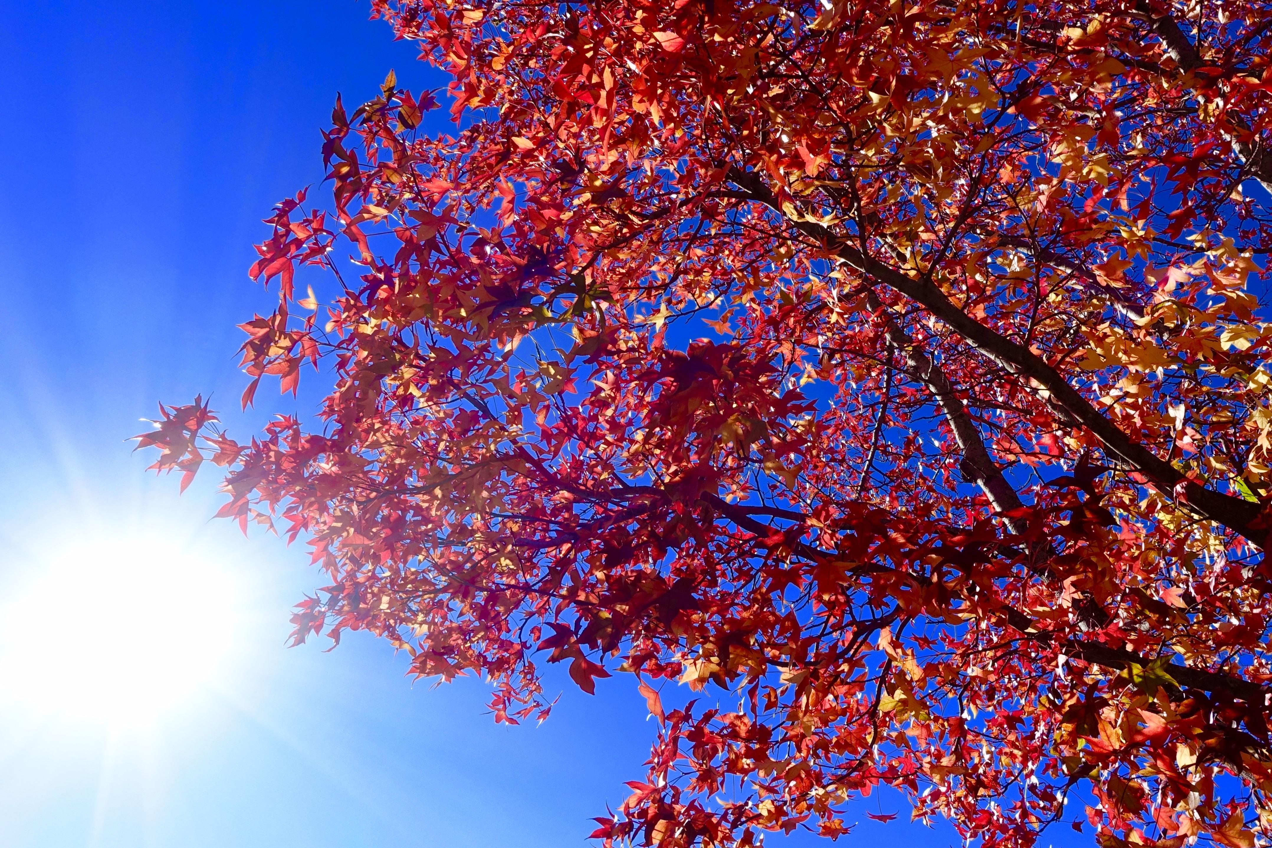 Autumn Leaves in Sun