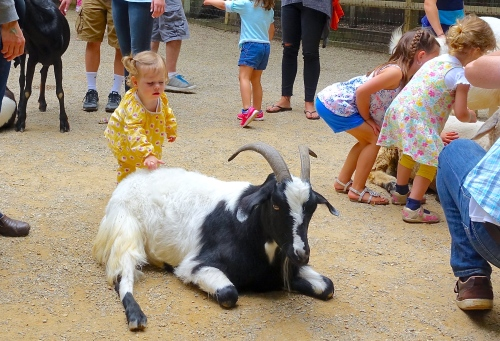 Baby petting goat 6.26.15