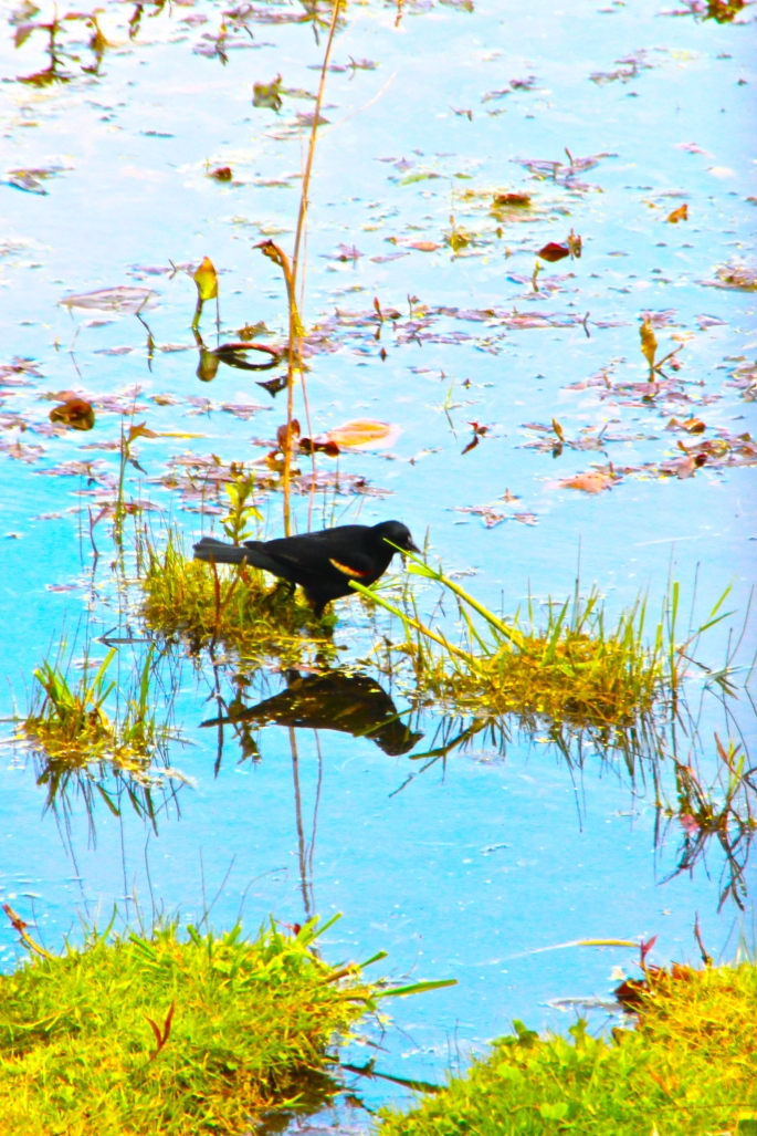 Blackbird in lake