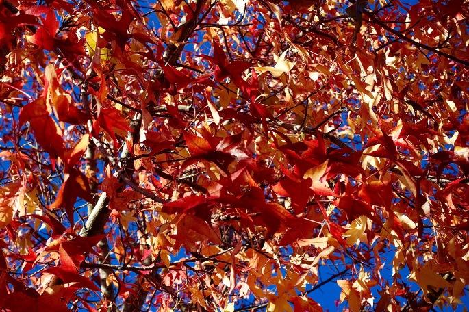 Crimson Leaves in Autumm