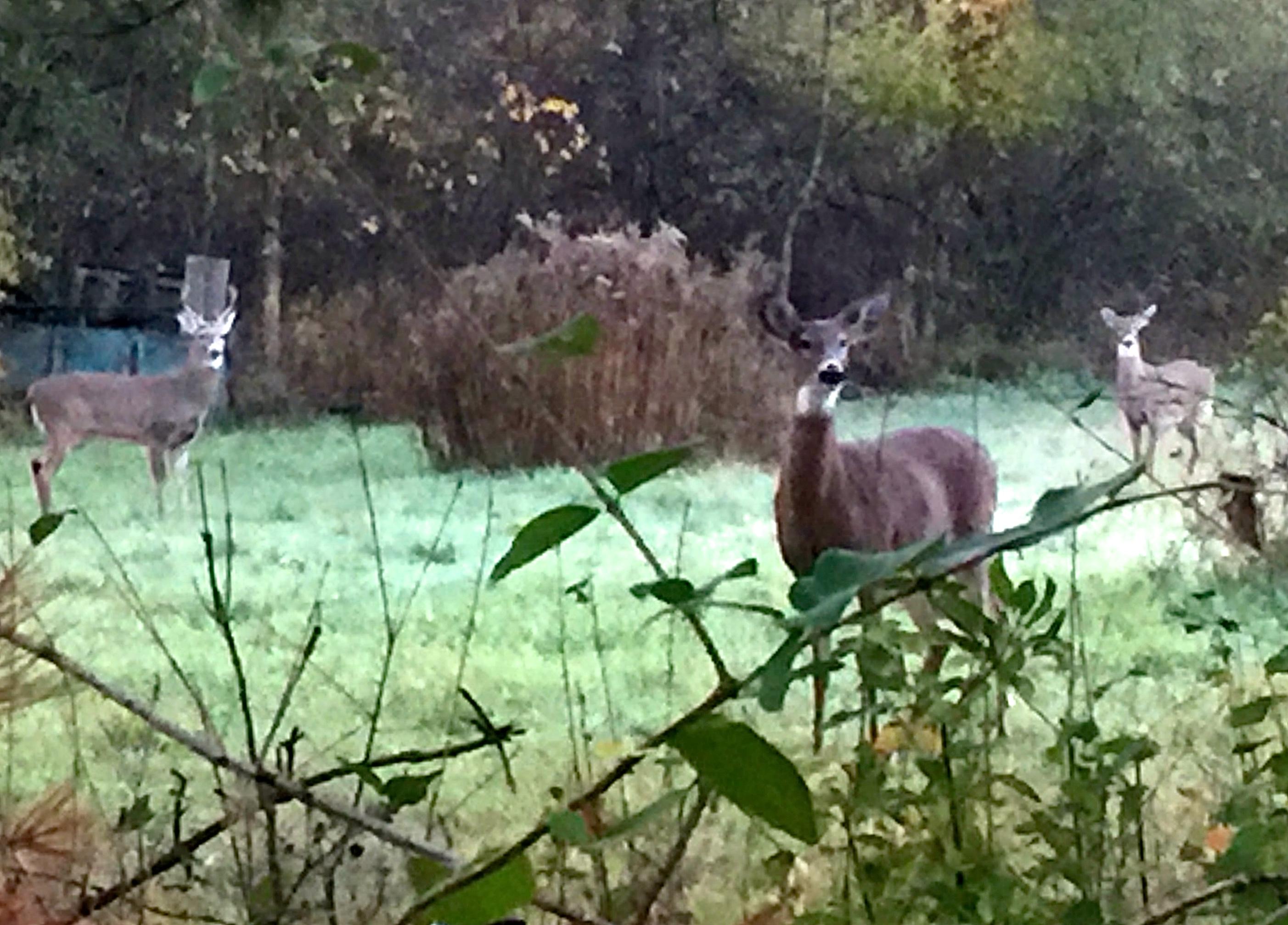 Deer watching me in field