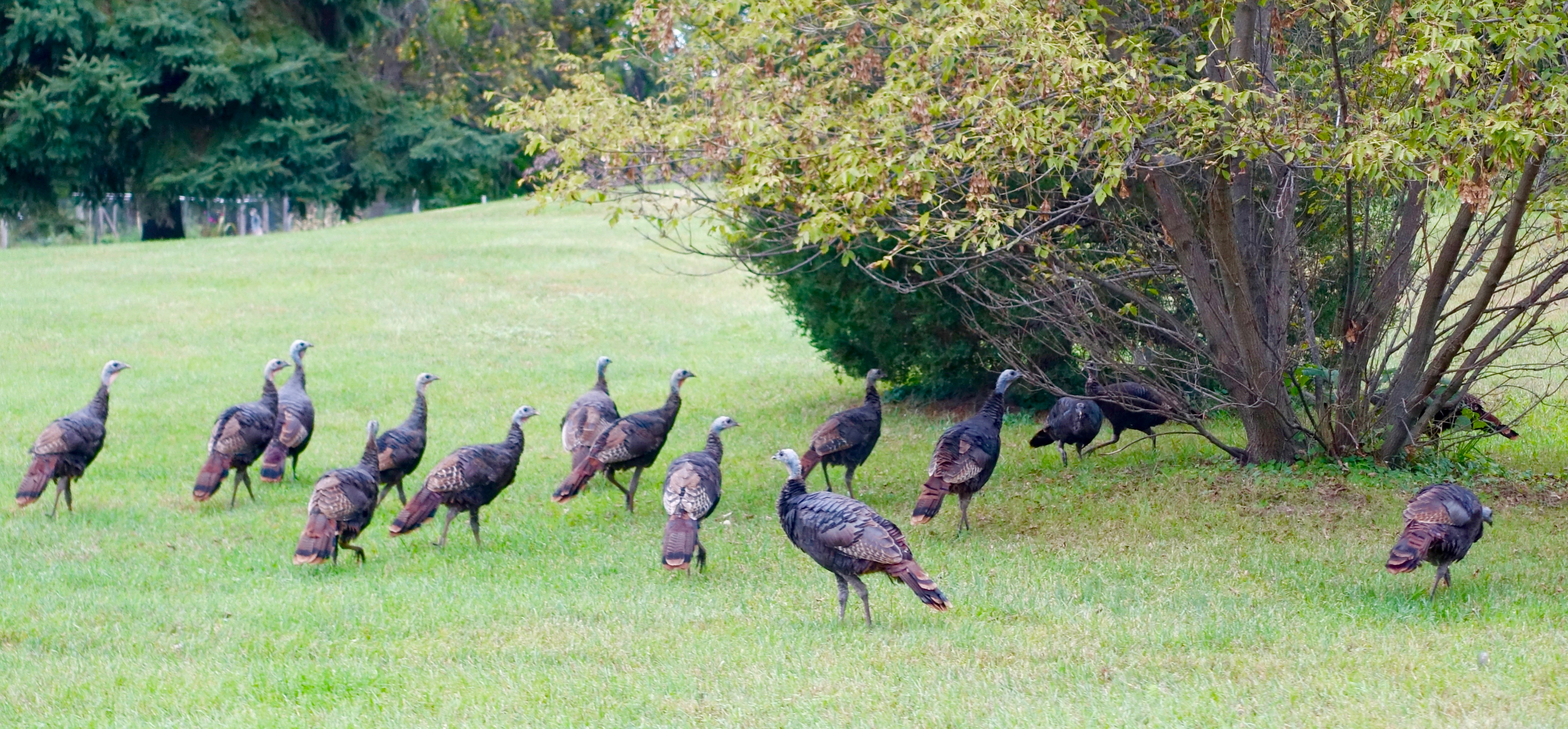 Flock of wild turkeys