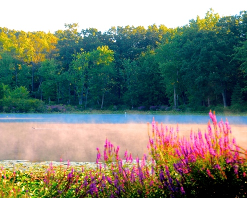 Loosestrife on Lake