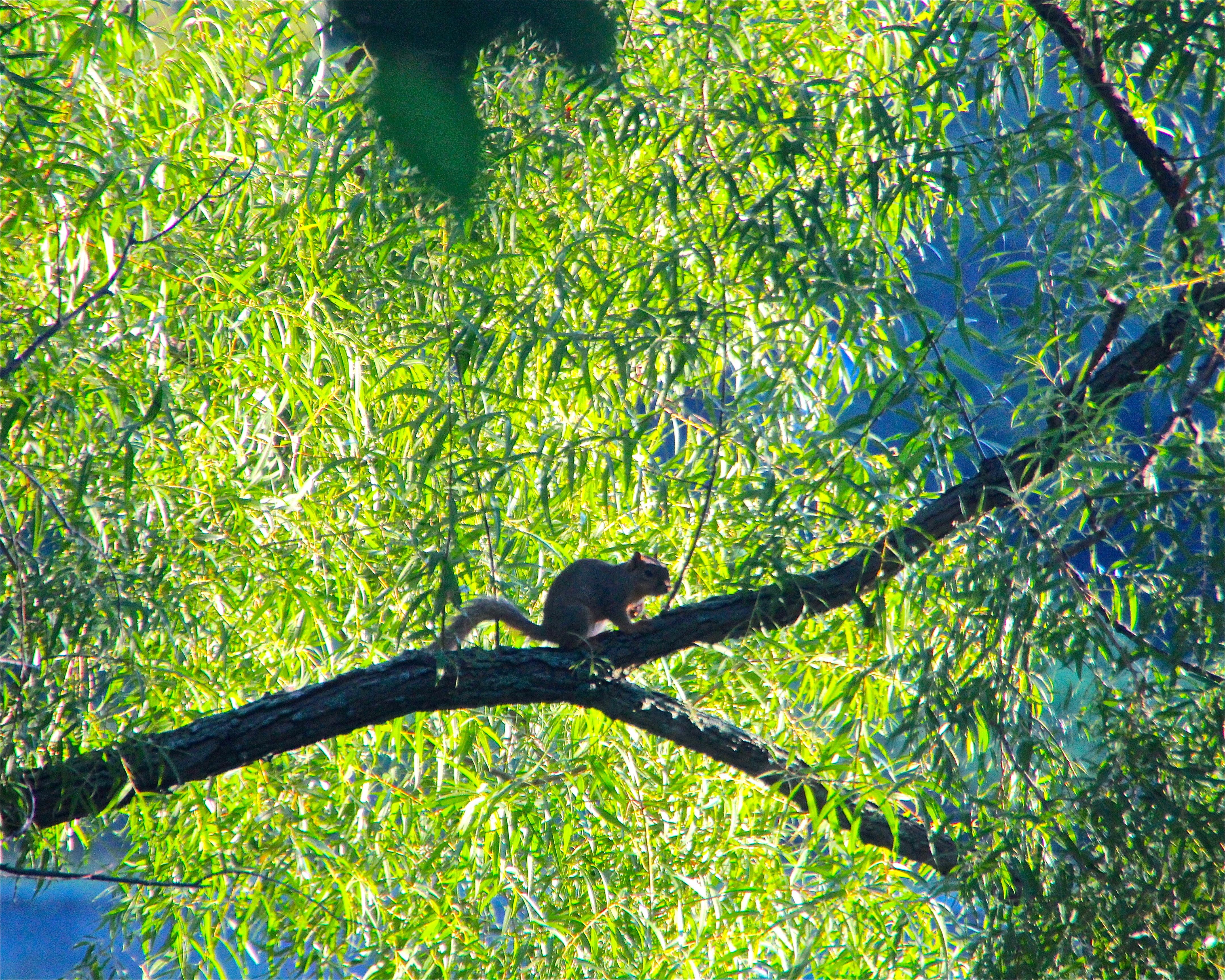 Squirrel in a treeJPG