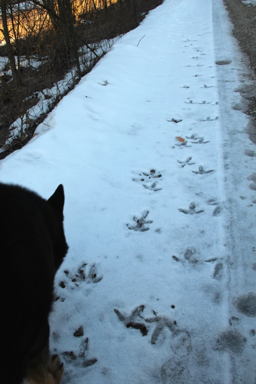 Turkey Tracks+ 3.28.13
