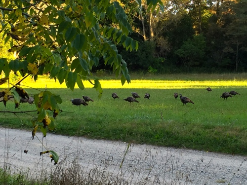 Turkeys 21 of them! 9-15