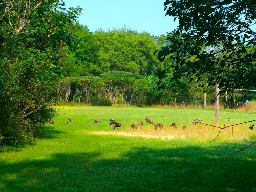 Turkeys grazing in our field