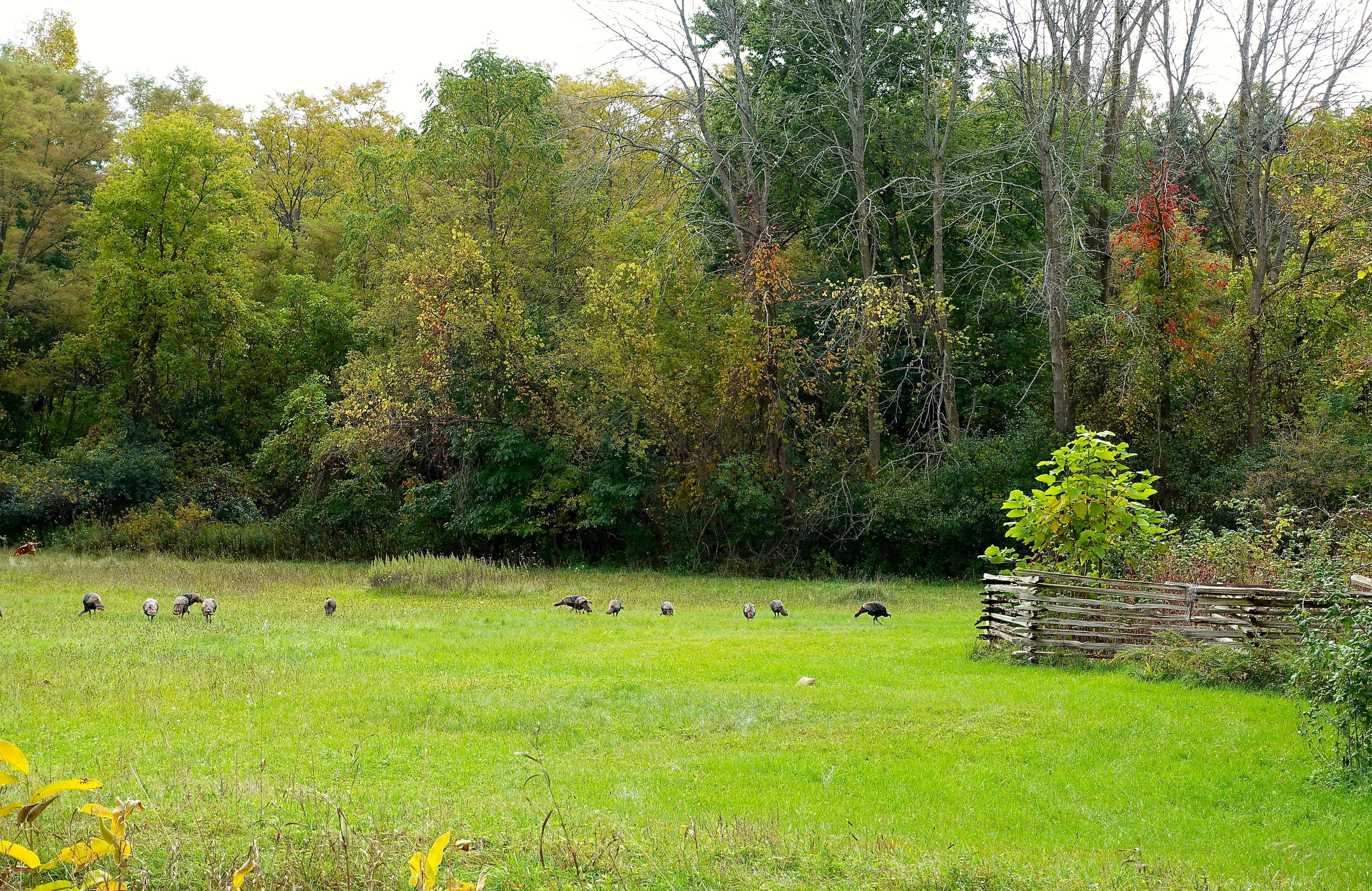 Turkeys in October 2015