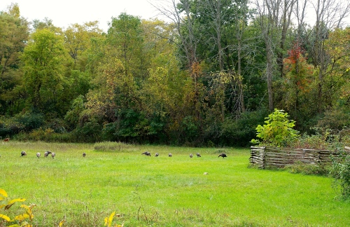 Turkeys in October 2015