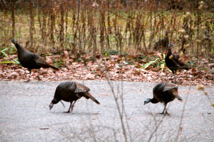 turkeys-in-our-driveway