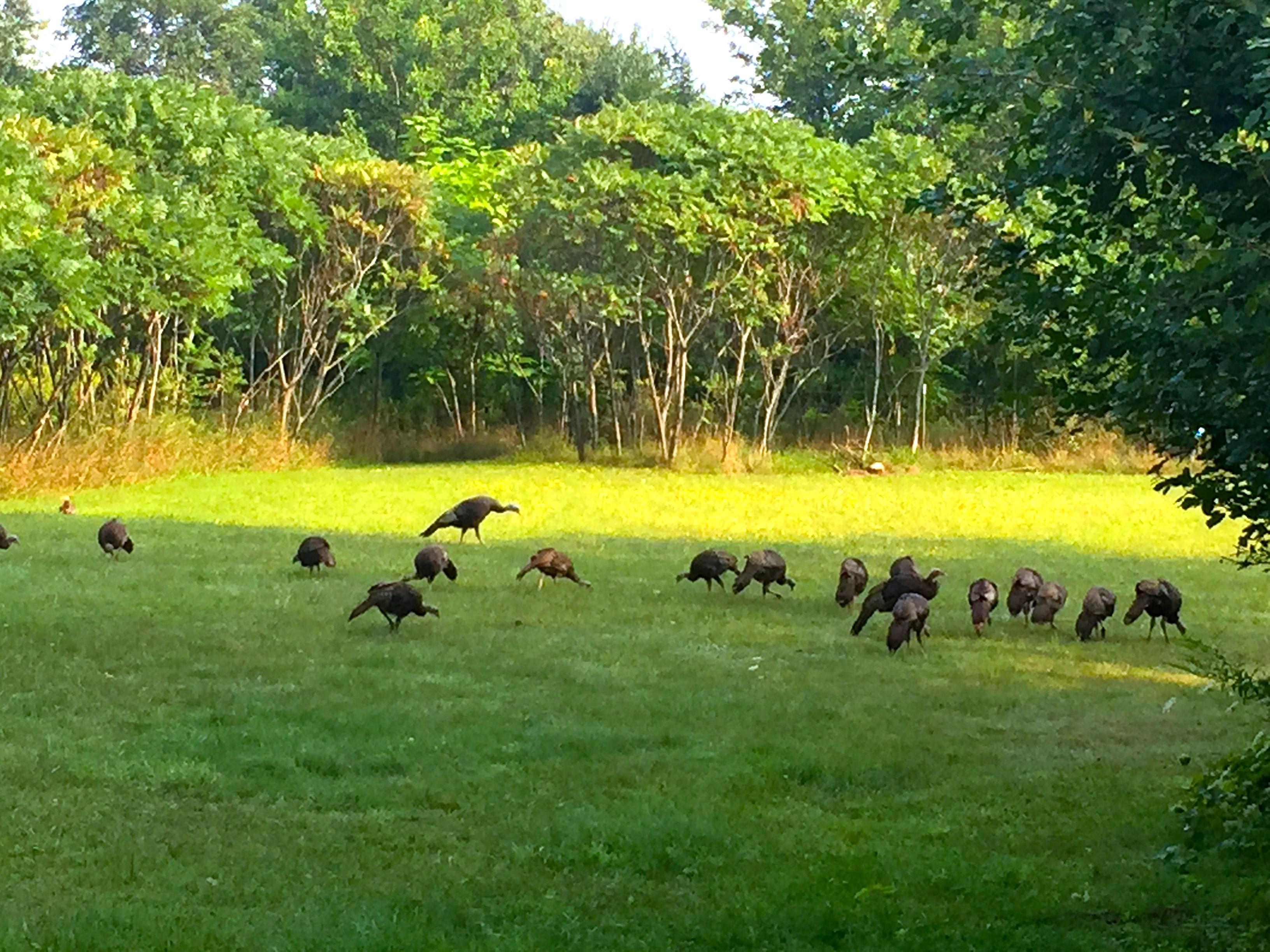Turkeys in yard 9.2.15