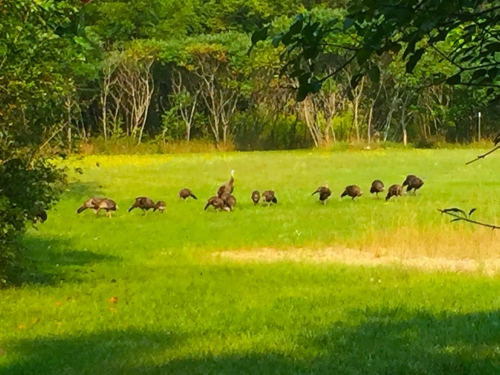 Turkeys+20 pix 9.2.15