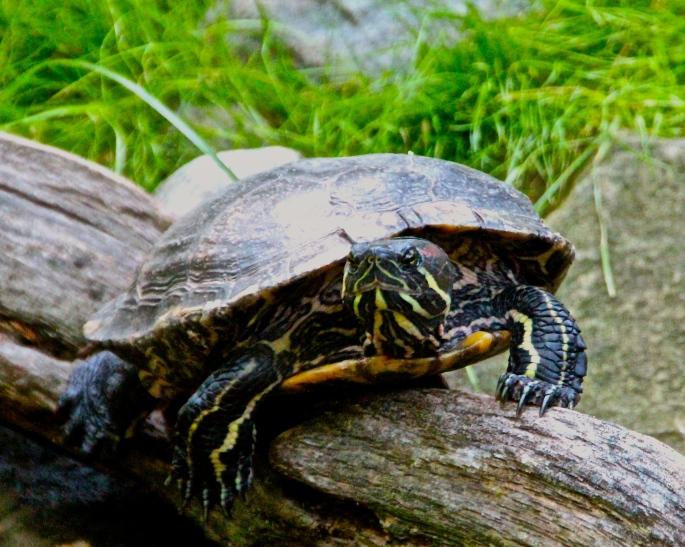 Turtle on log