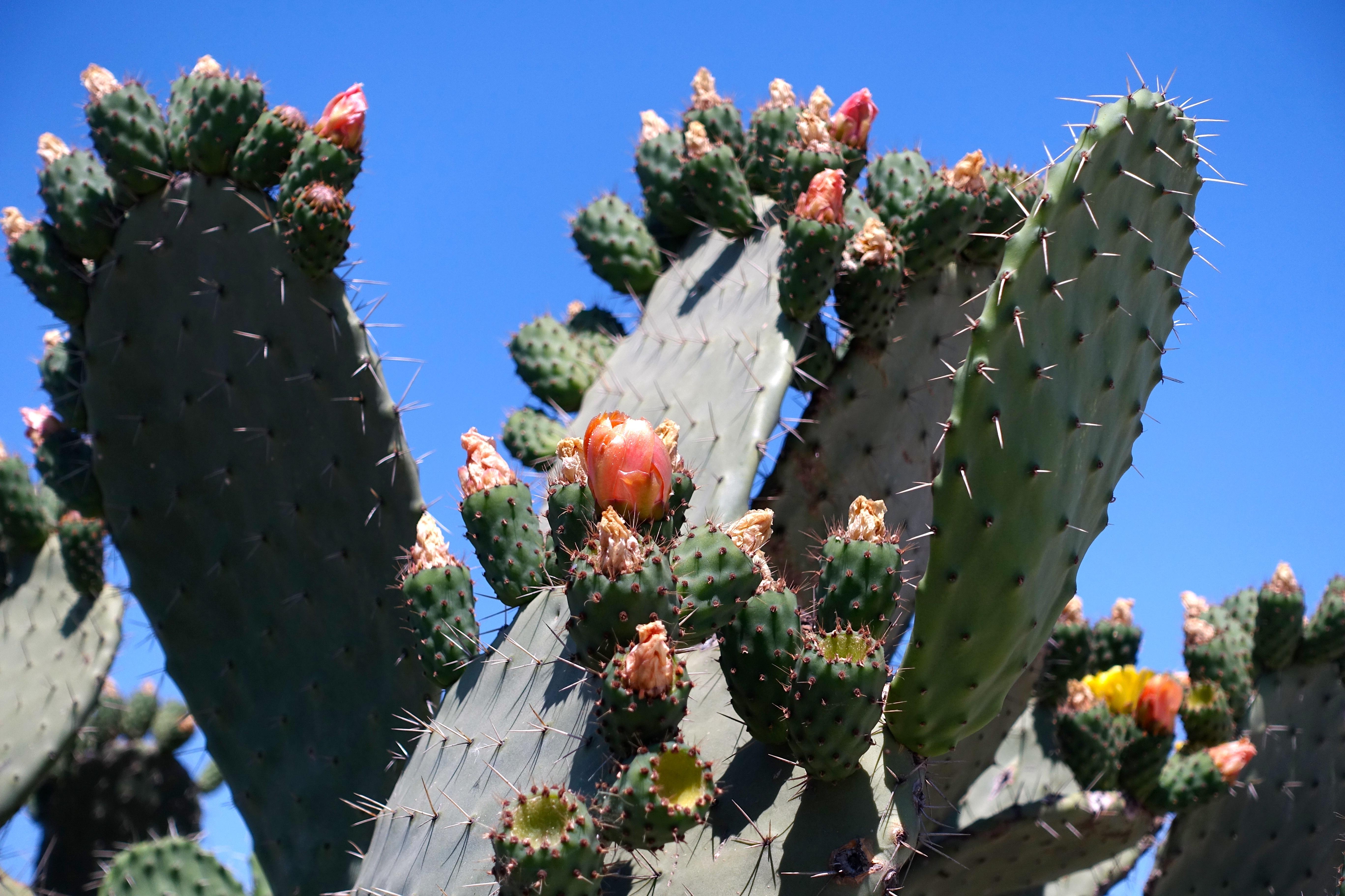 Blooming Cactus in Tunisia