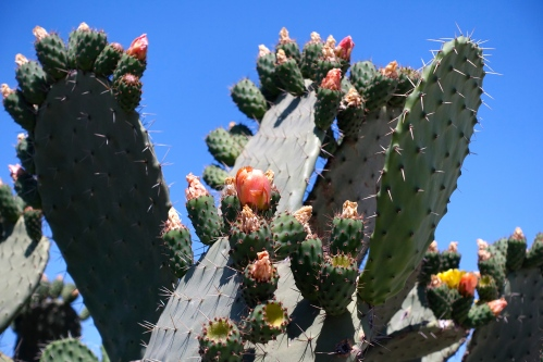 Blooming Cactus in Tunisia