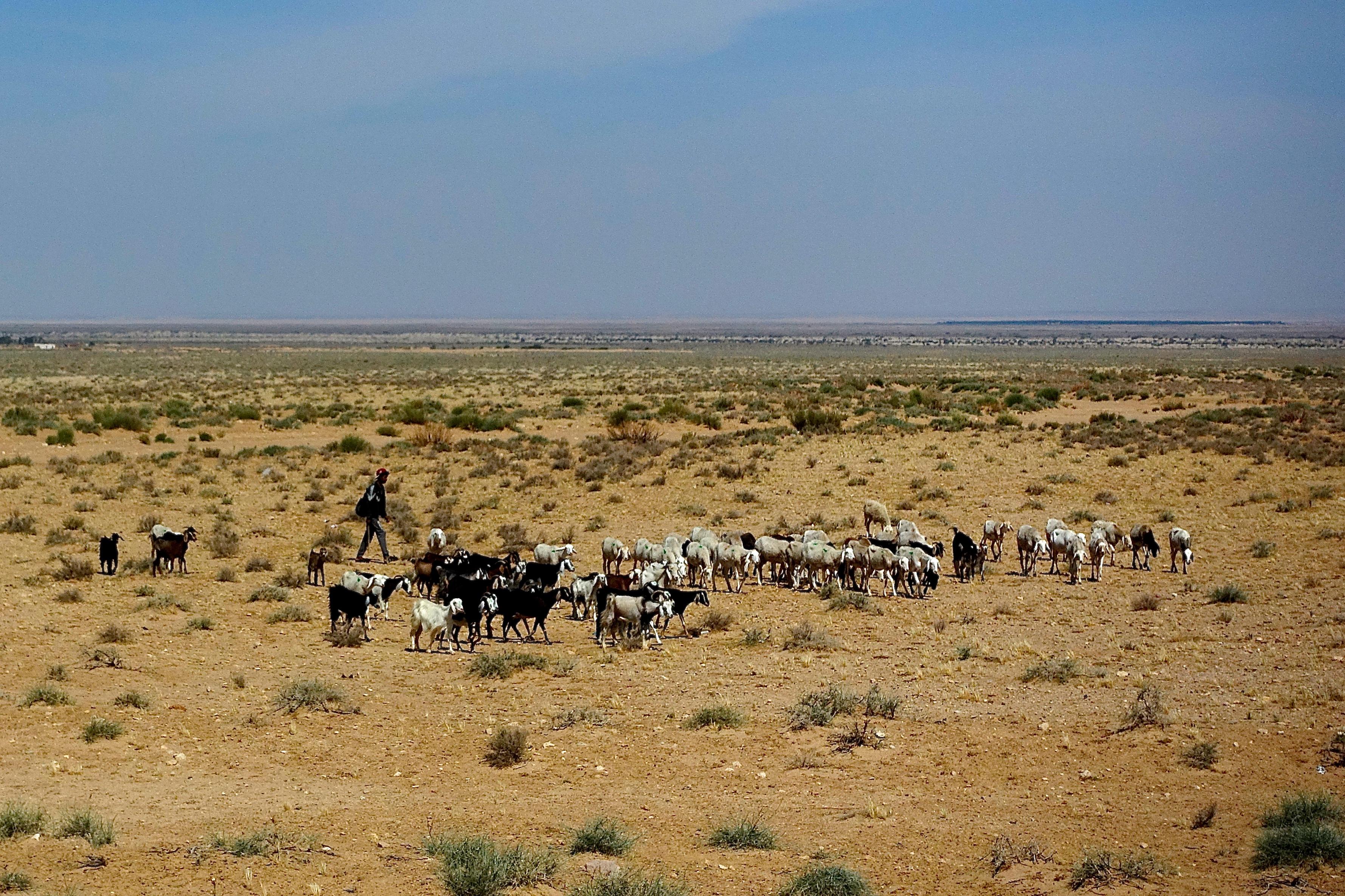 Goat herder. Tunisia
