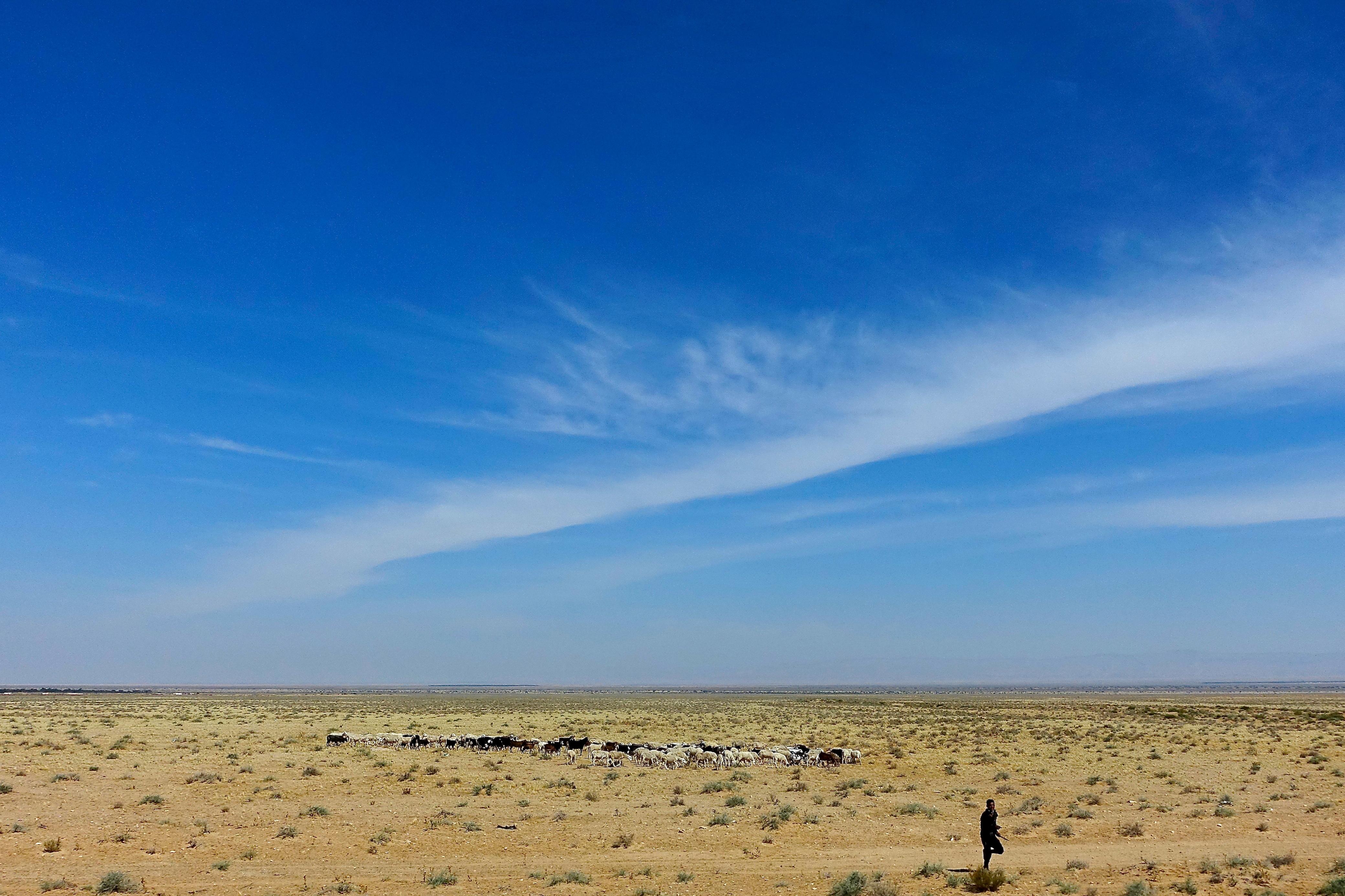 Herding Goats. Tunisia