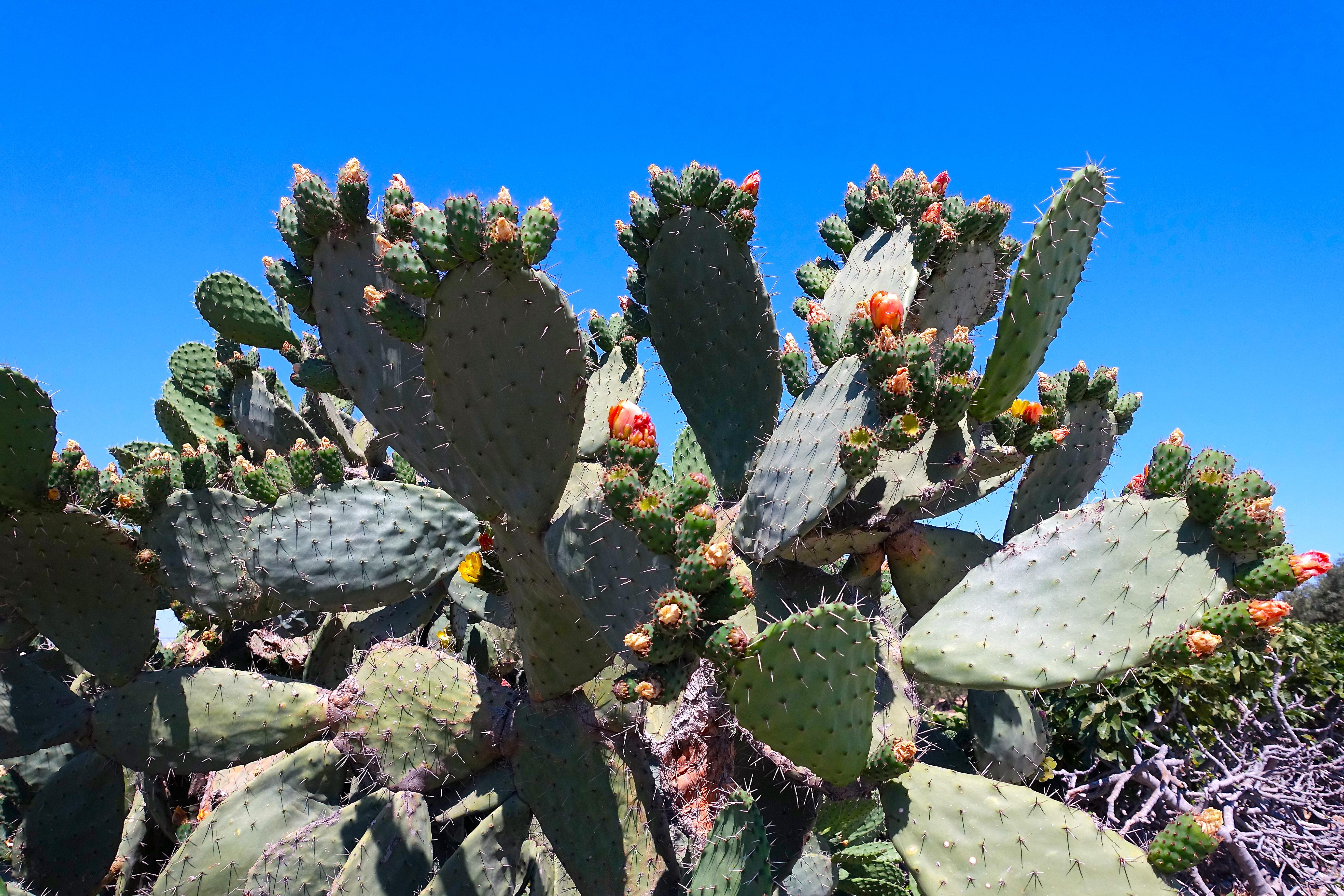 Tunisia Cactus Flowerering