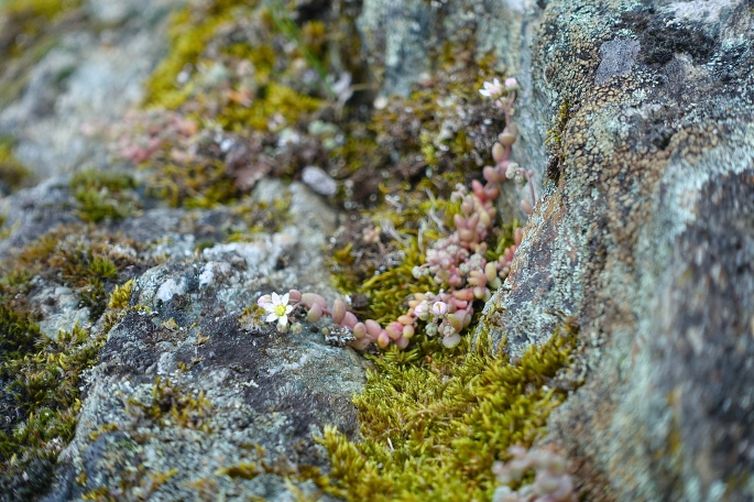Alpine Saxifrage in French Alps