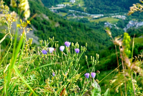 Blue Flax in French Alps