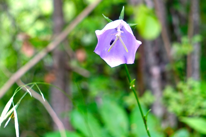 Harebell in French Alps