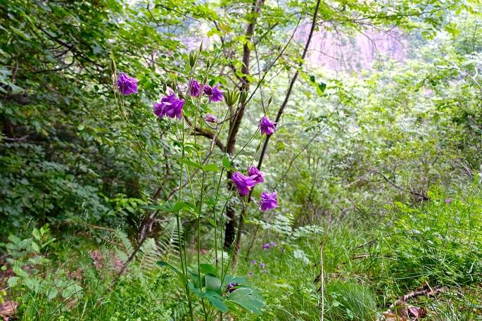 Purple Coumbine. French Alps