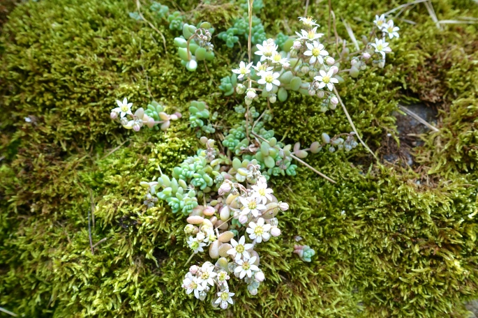 White wildflowers in French Alps