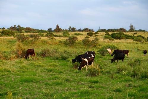 Cattle grazing in Hawaii