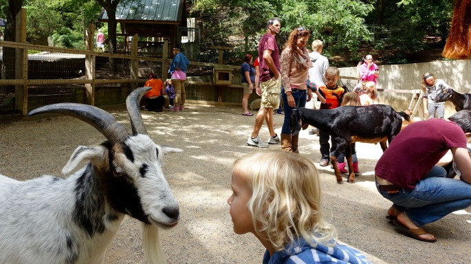 Child checking out goat 8.23.15