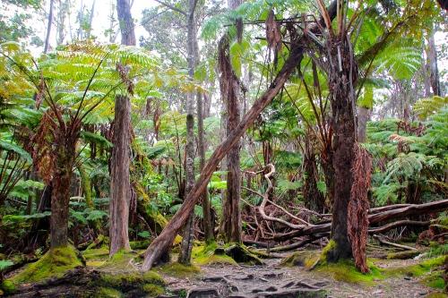 Fern Forests in Vocanoes National Park