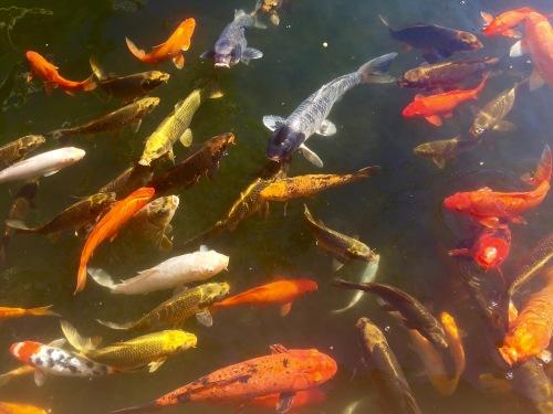 Goldfish at HIlton's Waikaloa Village