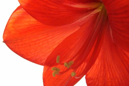 Hippeastrum_flower from Wiki. Public Domain