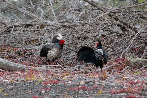 Kalij Pheasants in Volcanoes National Park. Hawaii