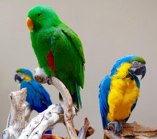 Parrots on Big Island