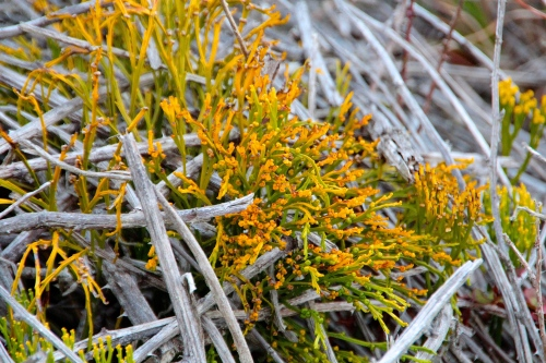 Tiny yellow flowers along Devastation Trail. Hawaii