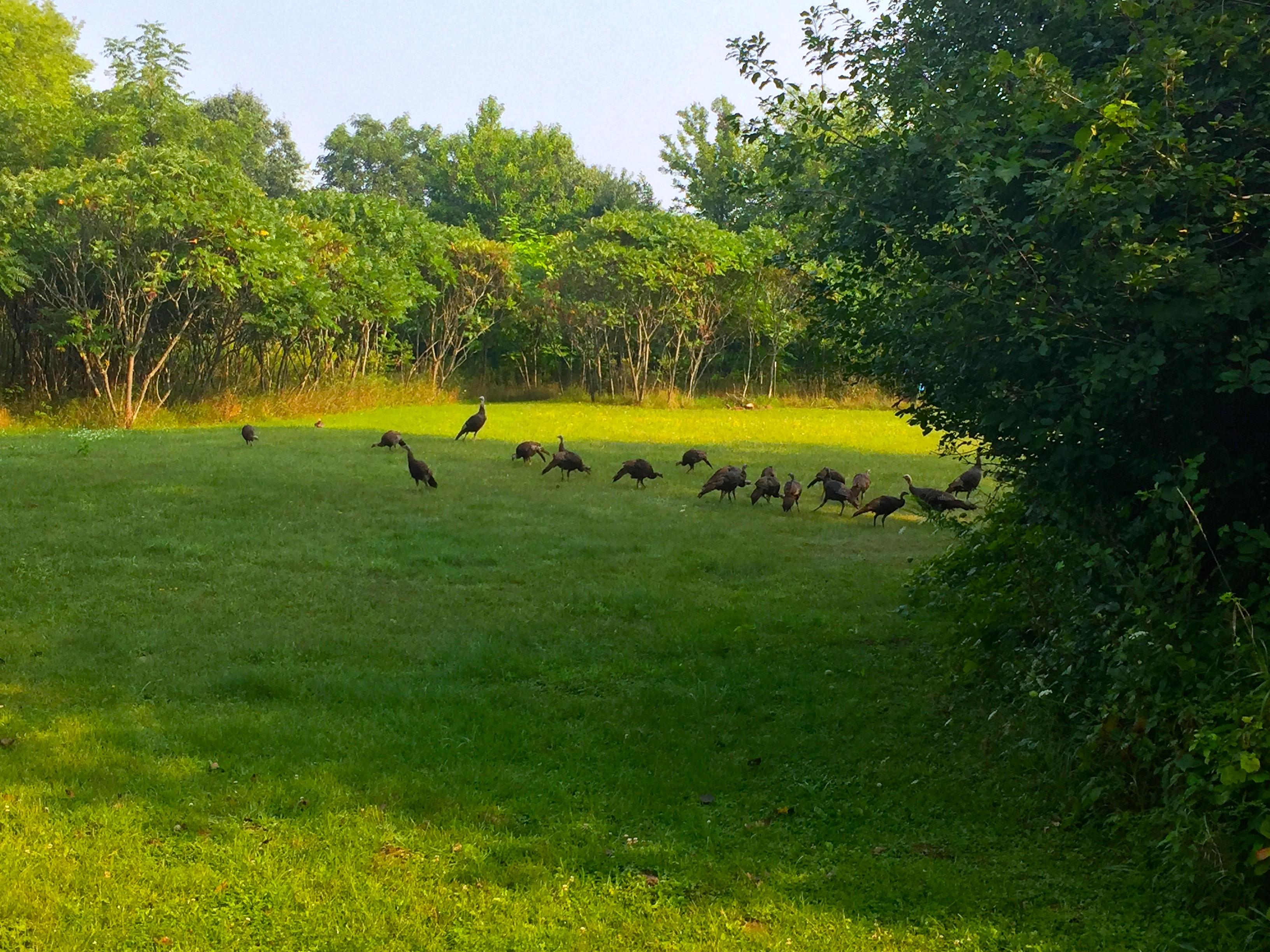 16 Turkeys in our field