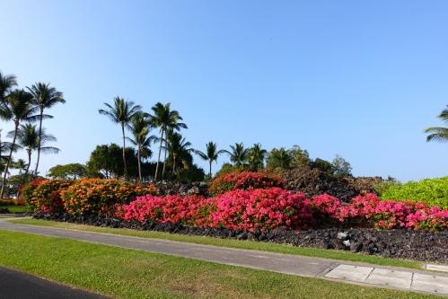 Bougainvillea. Hawaii