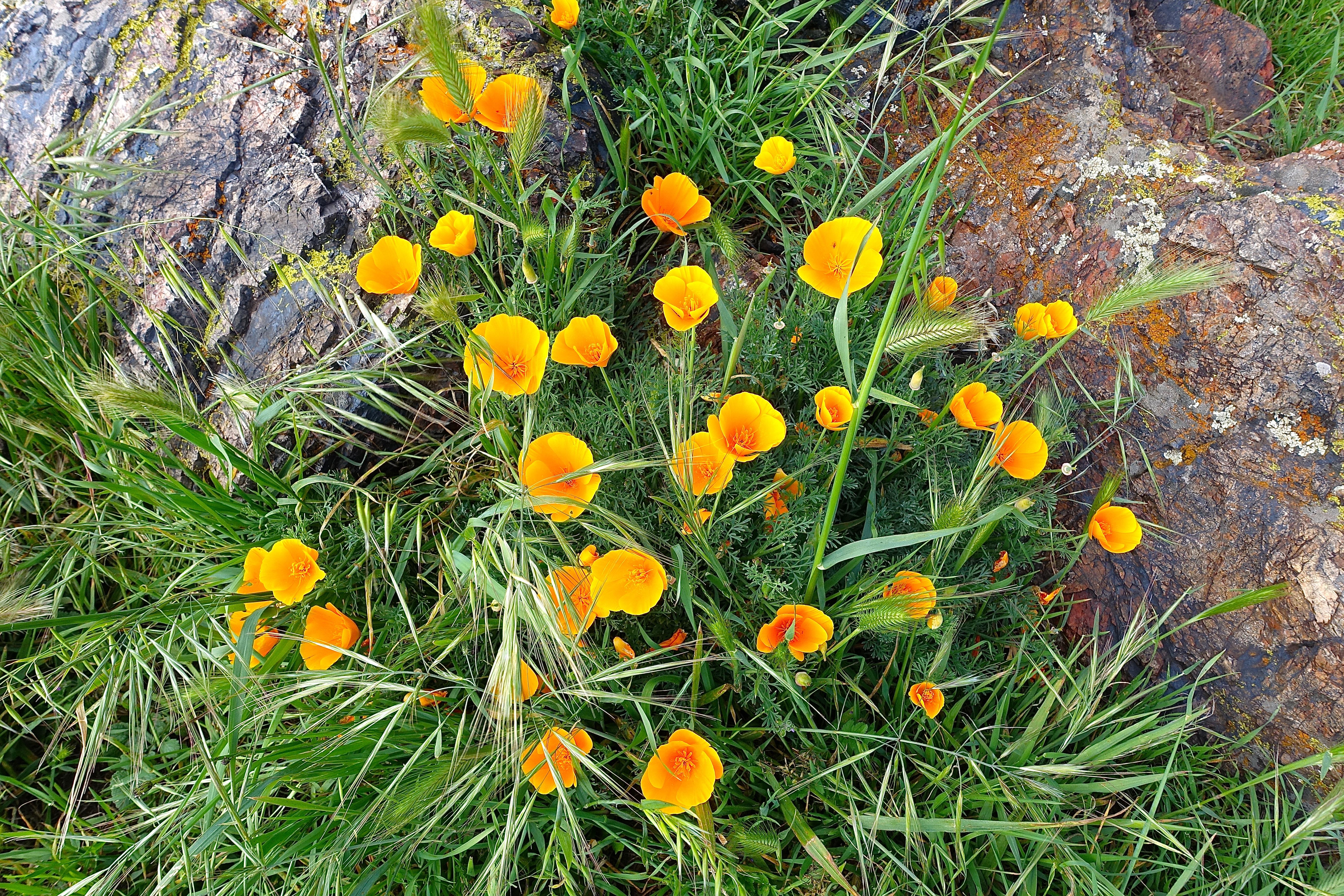 Golden poppies. Coyote Hills Regional Park